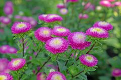 Field of pink and yellow petals of Everlasting or Straw flower bl0mming on green leaves, this plant know as Helichrysum bracteatum stock images