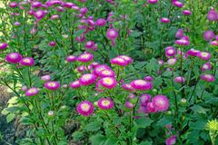 Field of pink and yellow petals of Everlasting or Straw flower blossom on green leaves, this plant know as Helichrysum bracteatum royalty free stock photo