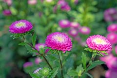 Field of pink and yellow petals of Everlasting or Straw flower blossom on green leaves, this plant know as Helichrysum bracteatum royalty free stock image
