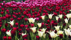 Field of  pink, yellow and red tulips blooming stock footage