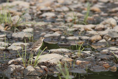 Field pipit Stock Photo