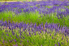 Field with plant of blue lavender royalty free stock image