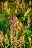 Field plant growing in a meadow illuminated by summer evening su Royalty Free Stock Images