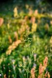 Field plant growing in a meadow illuminated by summer evening su Stock Image