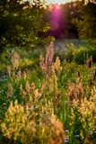 Field plant growing in a meadow illuminated by summer evening su Royalty Free Stock Photo