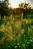 Field plant growing in a meadow illuminated by summer evening su Stock Photo
