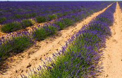 Field with plant of lavender stock photo