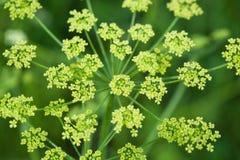 Field plant umbrella closeup Stock Photography