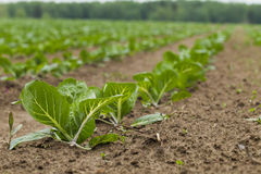 Field planted with cabbage Stock Photography