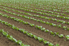 Field planted with cabbage Stock Photos
