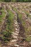 Field planted with corn on the cob Royalty Free Stock Photography