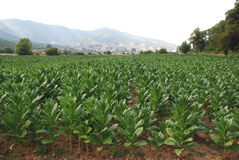 Field planted with tobacco. In Macedonia Stock Photos