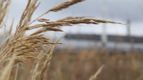 Field plants, golden ears grass swaying in the breeze against the sky. Field plants, golden ears grass swaying in the breeze against the sky stock video footage