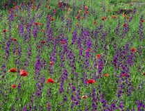 Field plants with red and purple flowers in full bloom royalty free stock photography