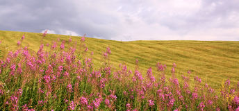 Field with plink flowers and sky in summer. Field with plink flowers and cloudy sky in summer royalty free stock photo