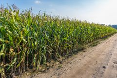 Field in Poland. Corn field in Chojnice County in Pomorskie Region, Poland Stock Photos