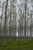 Field of poplars Royalty Free Stock Photos