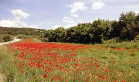 Field of poppers. Landscape with red poppers in warm colours royalty free stock photo