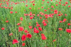 Field of poppies 1. Field of red poppies on a summer day royalty free stock photography