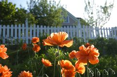 Field of Poppies. Late afternoon sunshine on a field of poppies on the coast of Maine beneath a white picket fence Royalty Free Stock Image