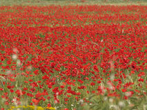 Field with poppies. Spring is the best season Stock Photography