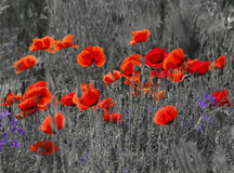 Field poppies Stock Photos