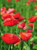 Field of Poppies Royalty Free Stock Photo