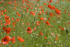 Field poppies. Summer meadow, red flowers Stock Photo
