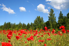 Field of poppies Royalty Free Stock Photography