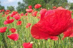 Field of poppies 2. Field of red poppies on a summer day (back-lighted royalty free stock photos