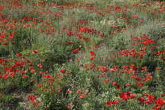 Field of Poppies. A poppy field in northern Spain Royalty Free Stock Photo