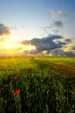 Field with poppies Royalty Free Stock Images