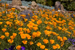 Field of Poppies. An orange field of the California State Flower - the poppy growing wild royalty free stock photography