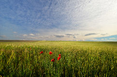 Field with poppies Stock Photography