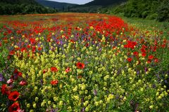 Field of poppies. Landscape field of poppies and other flowers stock photography