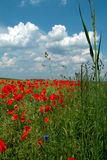 Field of poppies. Digital photo of a field of poppies Royalty Free Stock Images