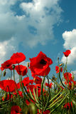 Field of poppies. Digital photo of a field of poppies with clouds above taken on a field in Germany Stock Image