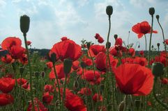 Field of poppies 3. Field of red poppies on a summer day (back-lighted royalty free stock image