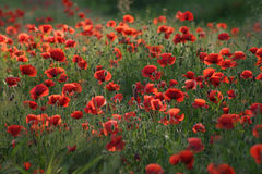 Field of poppies. Poppies a field in the early morning Stock Image