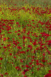 Field of poppies. Detail of a field of poppies and wild spring flowers Stock Photos