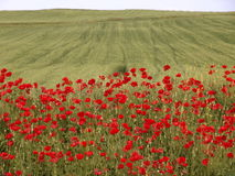 Field of Poppies. A green field and red poppy flowers stock image
