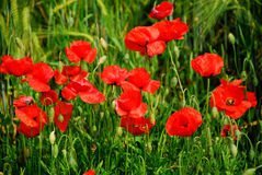 Field of poppies. A green field of poppies in the Italian Umbria region Stock Photos