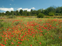 Field of poppies. In Provence, France Royalty Free Stock Photo