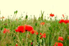 Field of poppies. Field of blossoming red poppies Stock Photo