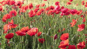 Field poppies stock video