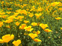 Field of poppies. Poppies poppies poppies poppies poppies Stock Photo