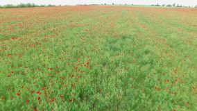 Field with poppies stock footage