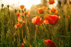 Field of poppies against the setting sun. A field of poppies against the setting sun Royalty Free Stock Image