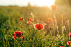 Field of poppies against the setting sun Royalty Free Stock Photos