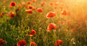 Field of poppies against the setting sun. Horizontal position. Stock Photo